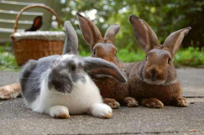 wie eine erfolgreiche vergesellschaftung von kaninchen m glich ist. Black Bedroom Furniture Sets. Home Design Ideas